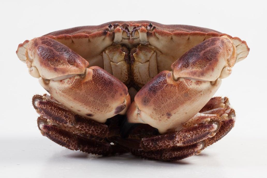 Noordzeekrab - Murko Seafood