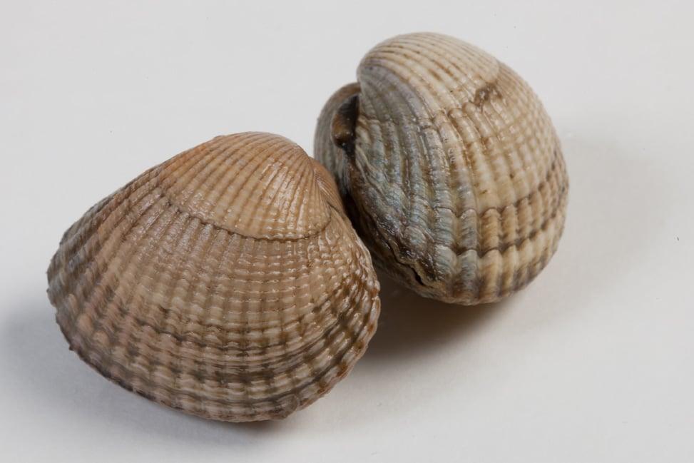 Kokkels - Murko Seafood