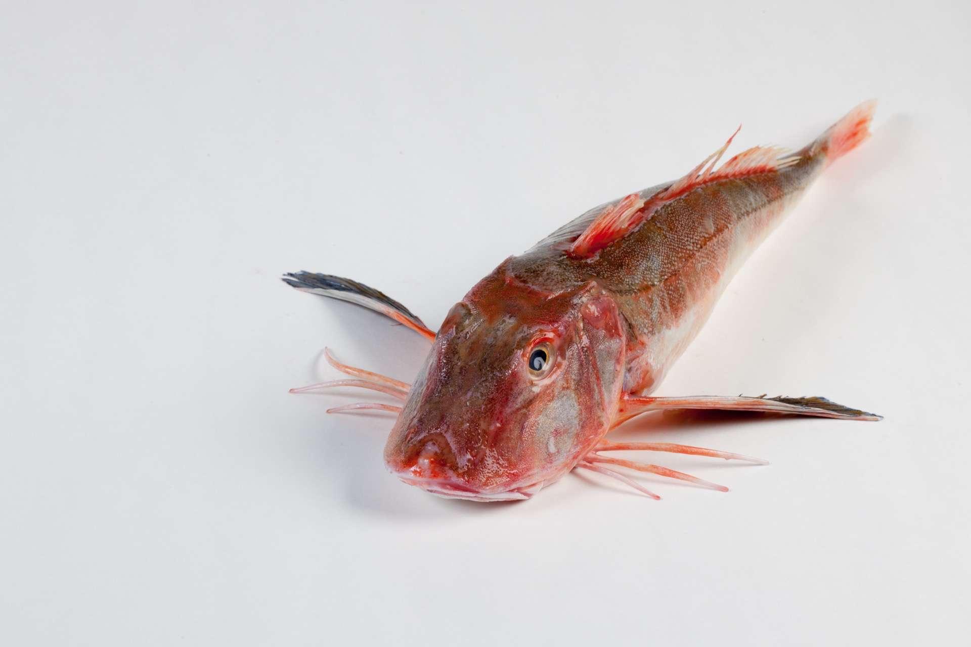 Rode poon - Murko Seafood