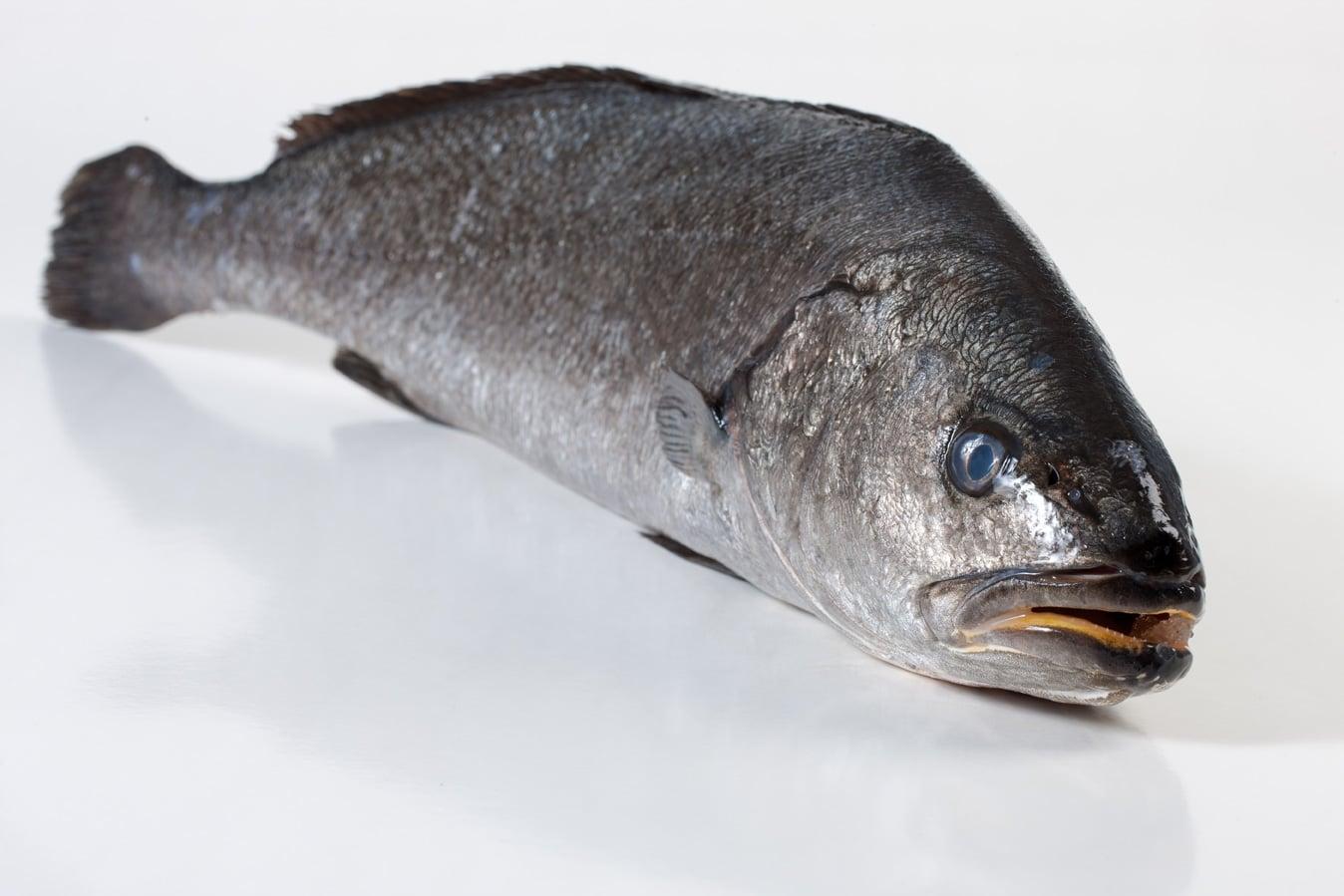 Corvina - Murko Seafood