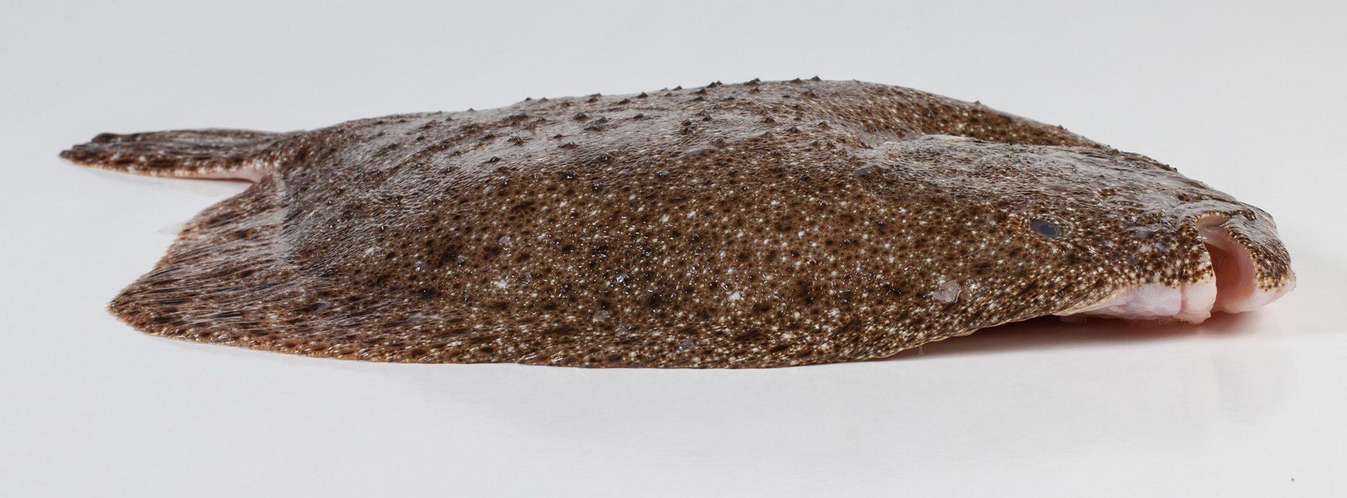 Tarbot - Murko Seafood
