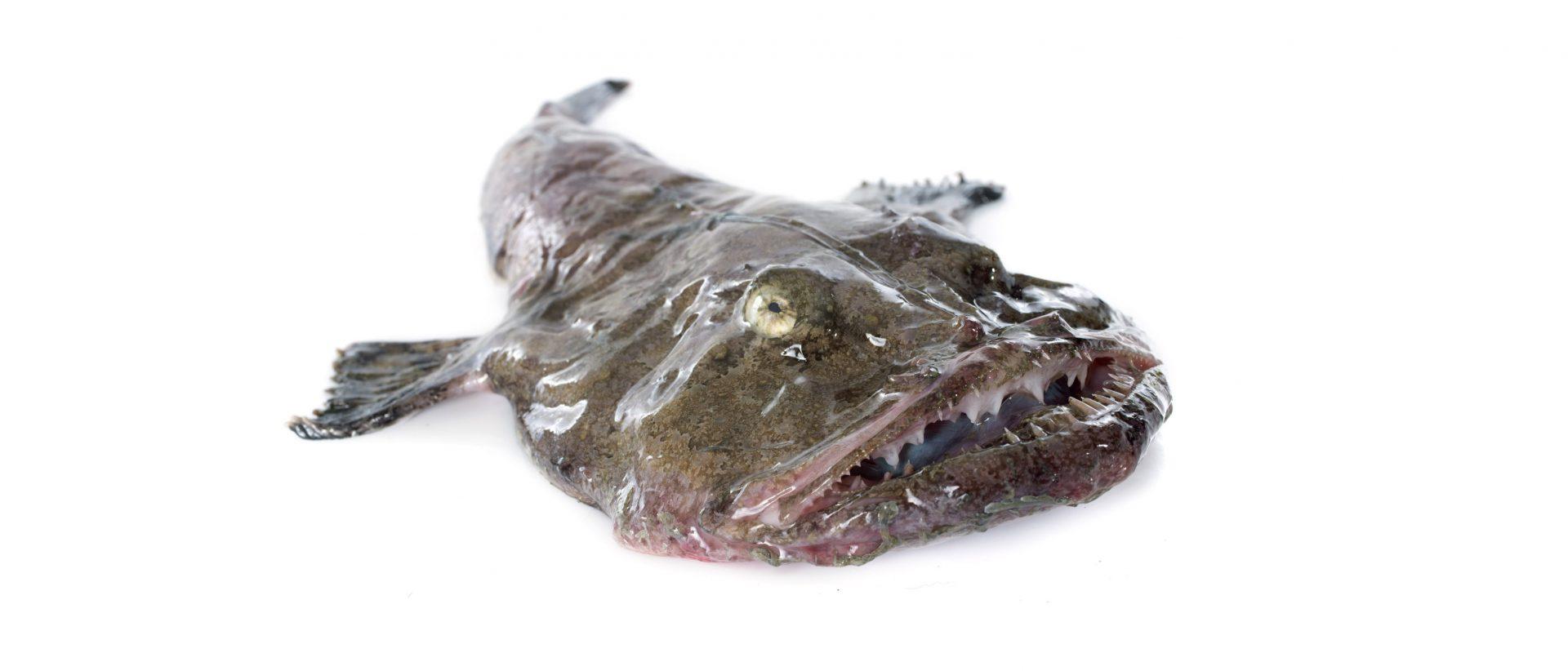 Zeeduivel - Murko Seafood