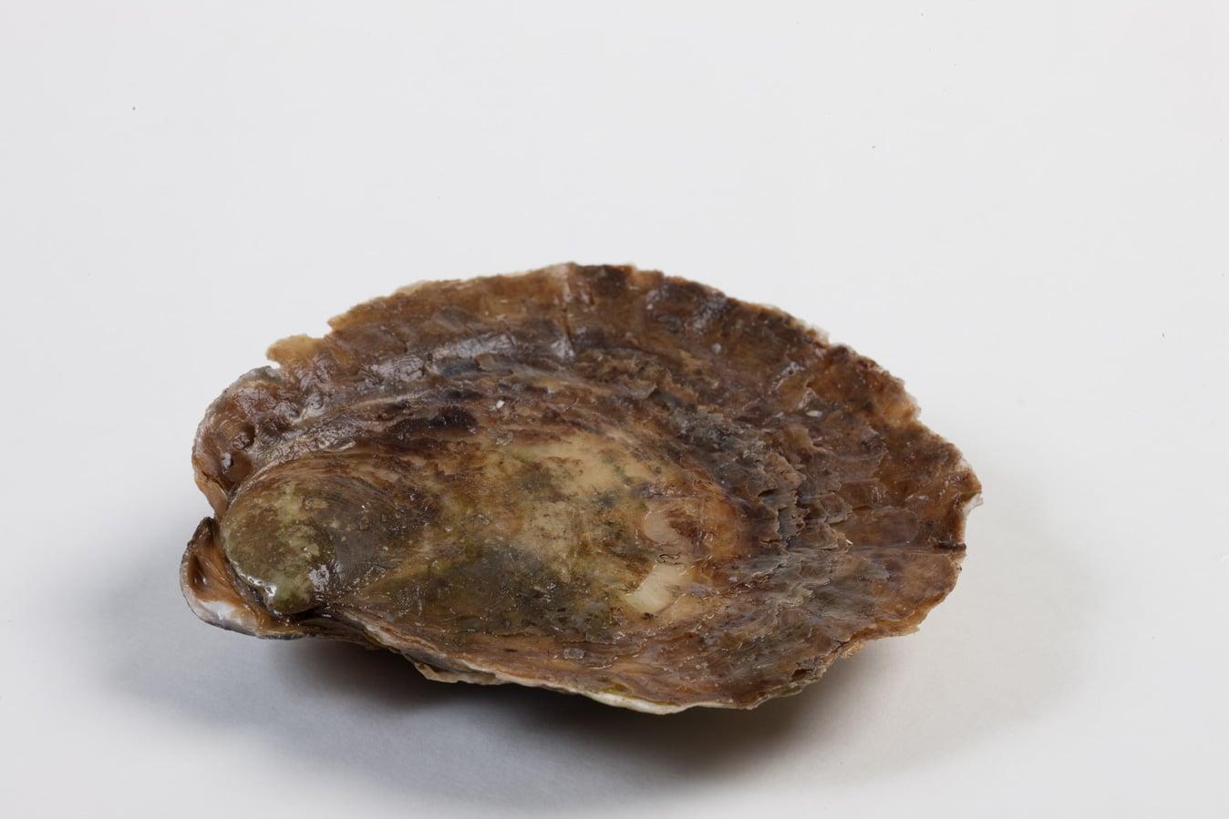 Zeeuwse platte oester - Murko Seafood