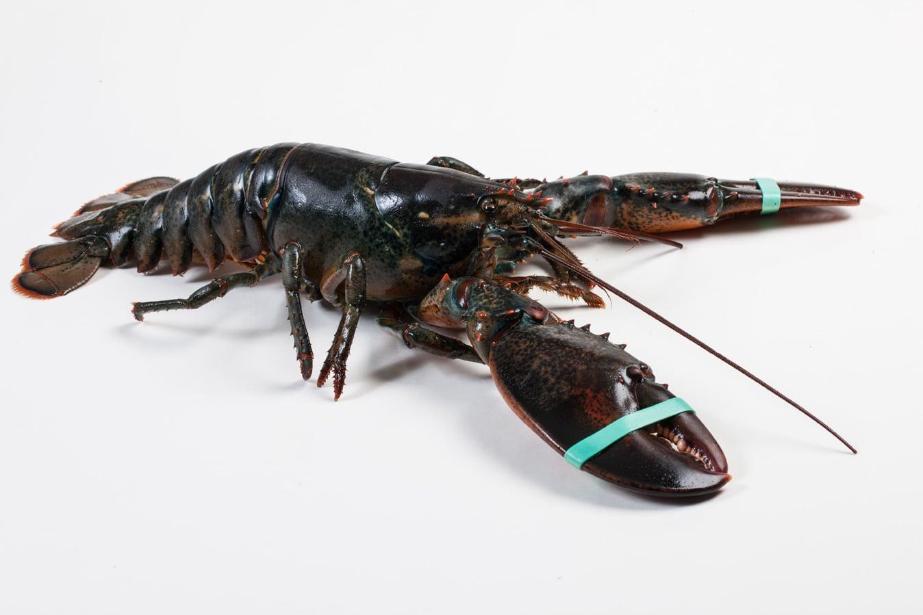 Canadese kreeft - Murko Seafood