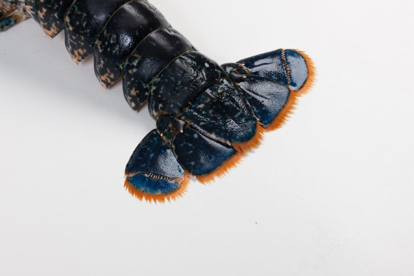 Oosterscheldekreeft - Murko Seafood